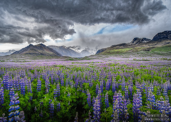 Lupine Below Mountains    Photography by Wayne Heim