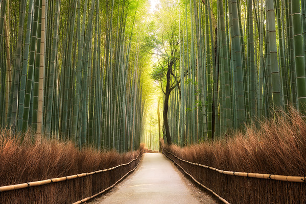 The Forest's Awakening || Kyoto Arashiyama Japan