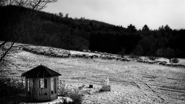 Sheep on Snow