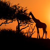 Giraffe Silhouettes at Sunset