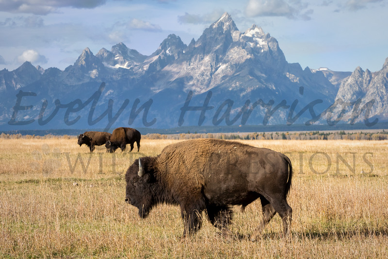 Bison and Grand Teton