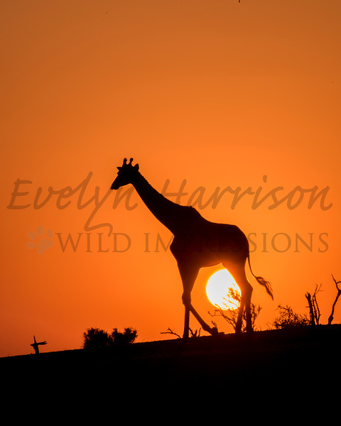 Giraffe Silhouettes at Sunset