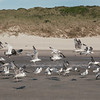 Beachcruising with Seagulls © Olivier Caenen, tous droits reserves