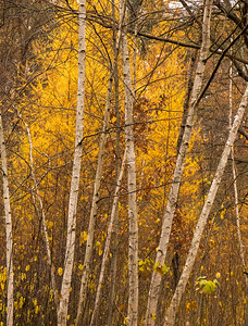 birches and tamaracks