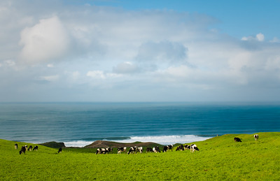 Holsteins near Outer Point Reyes