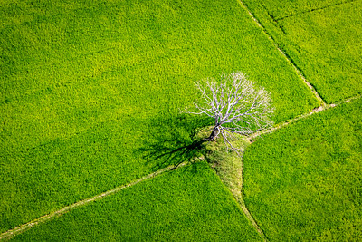 Lone Tree in a sea of rice.