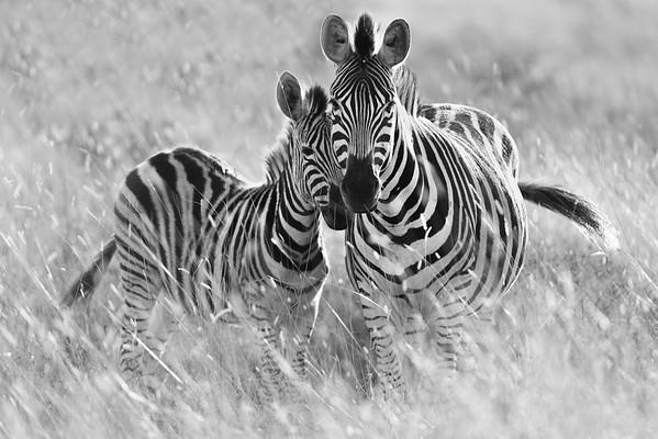 Zebra mother and colt