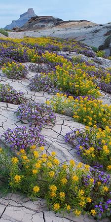 Desert Flowers, Capital Reef National Park