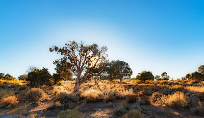 Desert Tree illuminated at sundown