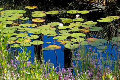 Lily pad pond in the Okefenokee Swamp