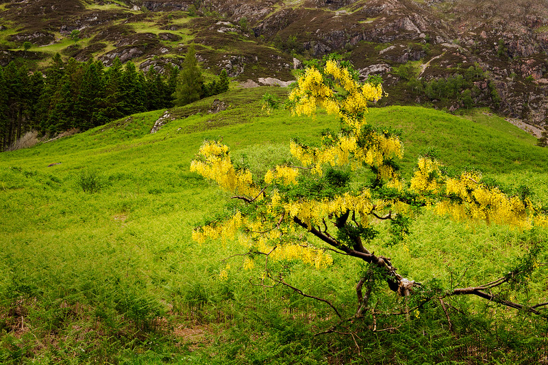 Lonely Laburnum Tree. Glencoe.
