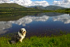 Buddy with Ben More Assynt in the distance. John Chapman.