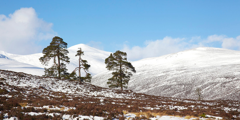 3 Scots Pines with the Mountain Derry Cairngorm behind. John Chapman.