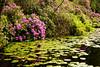 Water Lilies. Glencoe. John Chapman.