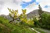 Laburnum Tree. Glencoe. John Chapman.