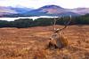 Red Deer Stag near Loch Tulla. John Chapman.