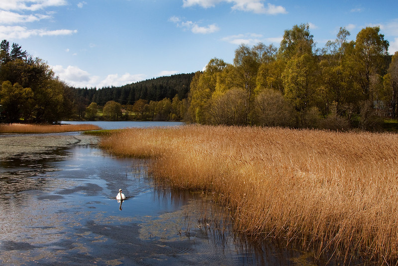 The Swan on Loch of Aboyne. Pic in the Local Press. John Chapman