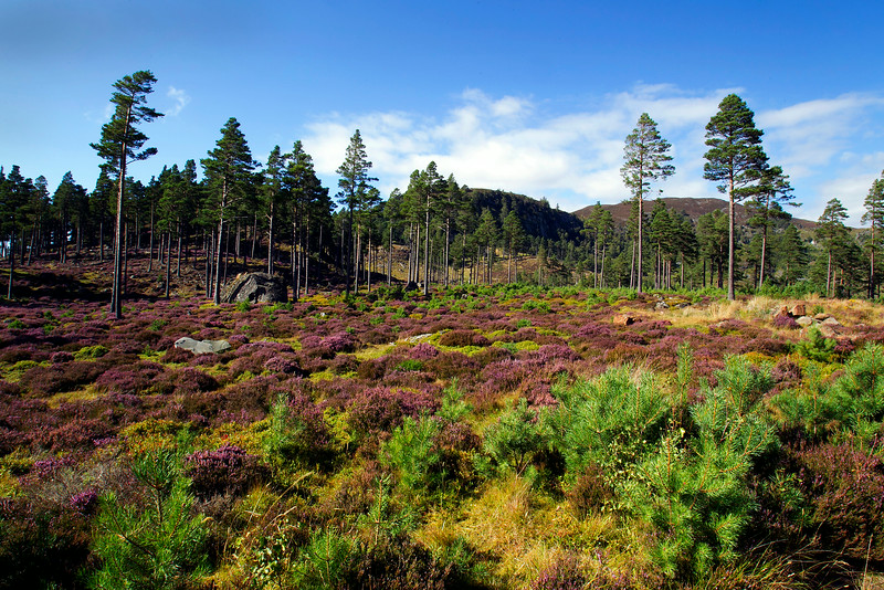 Heather in Bloom at Invercauld. Aberdeenshire. Picture in the Local Newspaper.