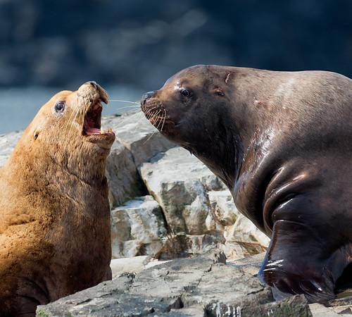 Steller Sea Lions in conversation