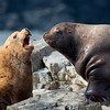 Steller Sea Lions in conversation