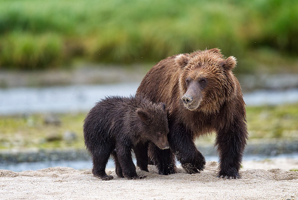 Mother Kodiak bear teaching her cub how to hunt for intertabrates in the sand