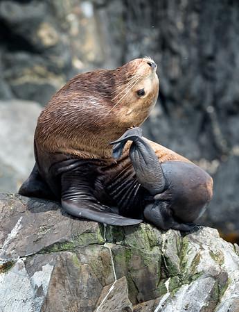 Steller Sea Lion scratching an itch