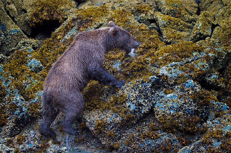 A Successful Sow Climbs steep rocks to protect her catch