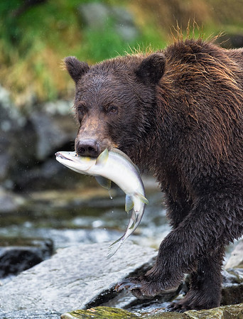 Mother cub with salmon catch in a rainstorm