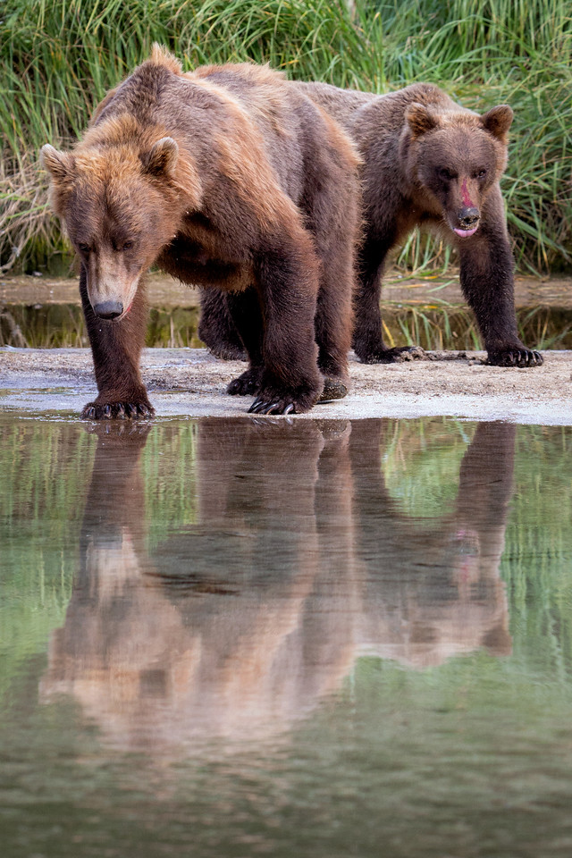 """Bear Reflection"""