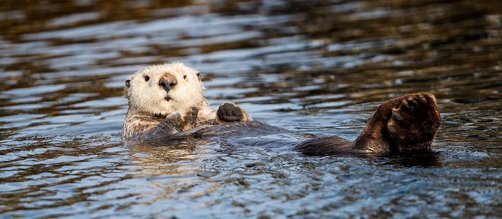 Sea Otter in the waters around Kodiak