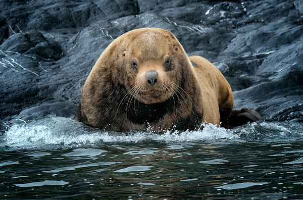 Steller Sea Lion Takes to the Sea to Chase away interlopers