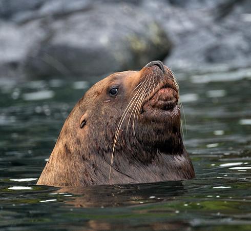 Steller Sea Lion Warily Surveys the Company
