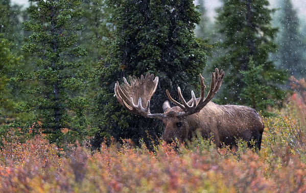 A bull moose forages for food amidst fall color during a quiet snow storm