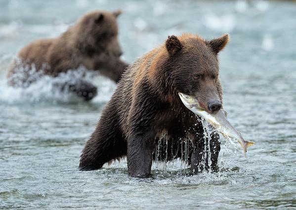 Feeding frenzy: bears and salmon