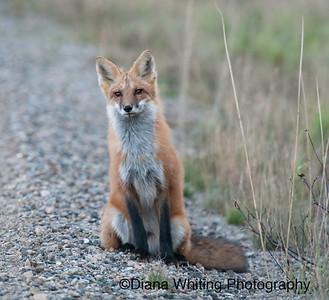 Adult Fox 2