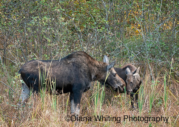 Moose with Calf in September 2011