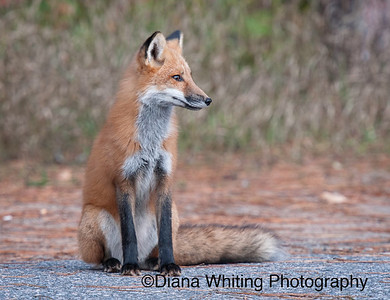Young Fox Fall 2011