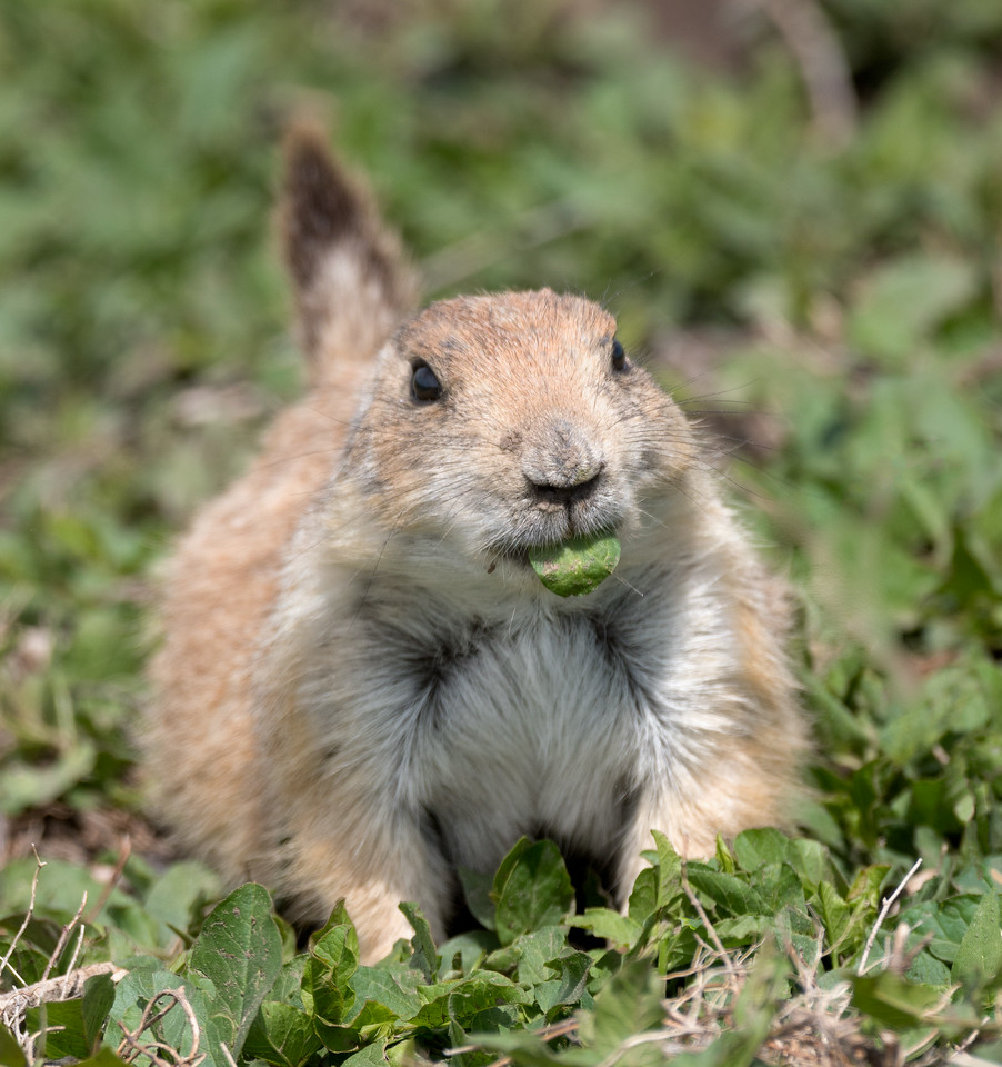 Prairie Dog with snack
