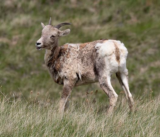 Bighorn sheep shedding
