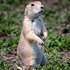 Prairie Dog, a keystone animal in the Badlands