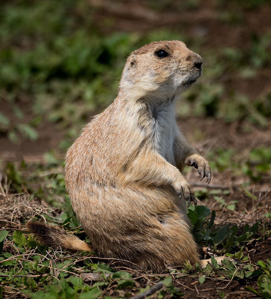 Prairie Dog, a keystone animal in the Badlands: take two
