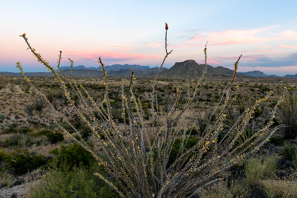 Ocotillo at sunset in the vast Big Bend NP