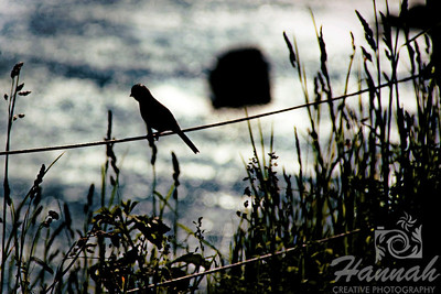 A silhouette of a bird on a wired fence facing the sea Shot at Ecola State Park in Cannon Beach, Oregon Coast  © Copyright Hannah Pastrana Prieto