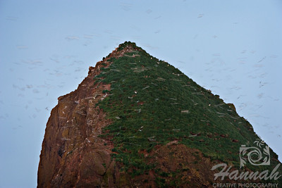 Close-up of Haystack Rock with seagulls resting and flying on top. Located in Cannon Beach, Oregon Coast  © Copyright Hannah Pastrana Prieto