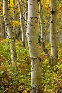 Aspen tree wearing glasses