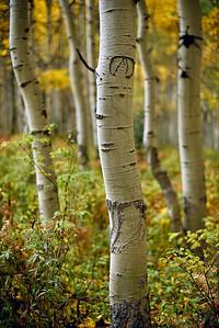 Aspen tree wearing glasses_take two