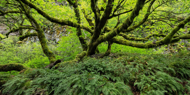 """Vine Maple Panorama"""