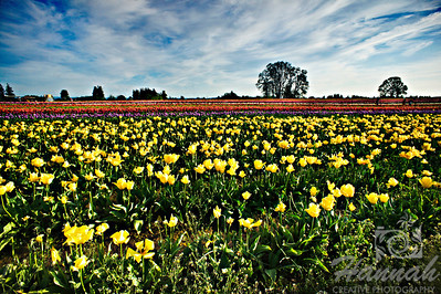 Tulip field taken at Wooden Shoe Tulip Farm in Woodburn, OR  © Copyright Hannah Pastrana Prieto