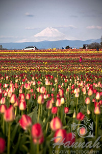 Snow-capped Mt.Hood with colorful tulip fields on the foreground. Taken from the Wooden Shoe Tulip Farm in Woodburn, OR    © Copyright Hannah Pastrana Prieto