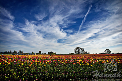 Tulip field taken at Wooden Shoe Tulip Farm in Woodburn, OR  © Copyright Hannah Pastrana Prieto